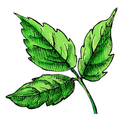poison ivy is a poisonous plant