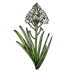 death camas is a poisonous plant