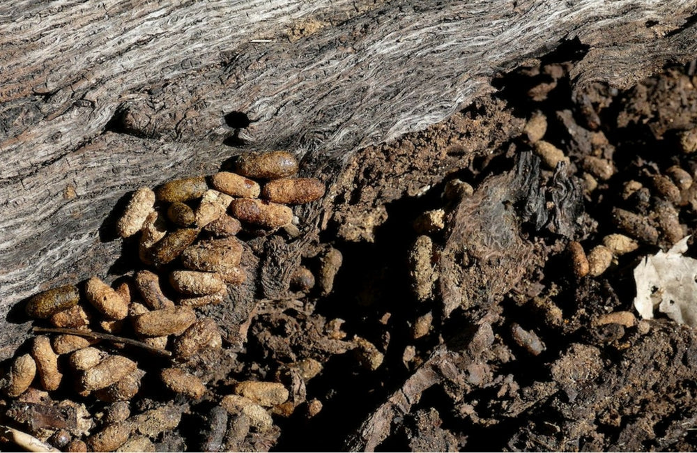 mice rat mouse scat