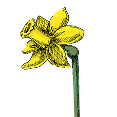 daffodil is a poisonous plant