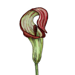 jack in the pulpit is a poisonous plant