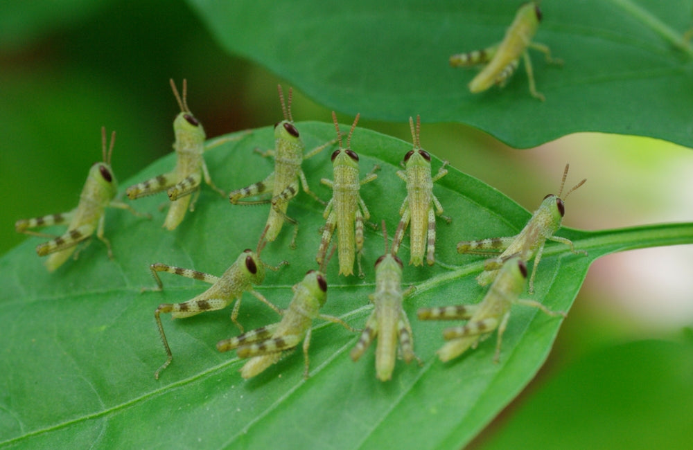 edible insects locust
