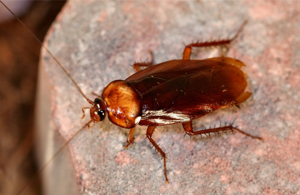 edible insects cockroach
