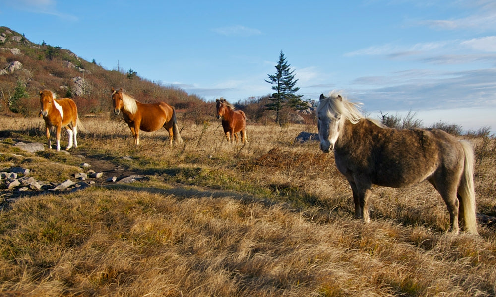 grayson highlands virginia ponies - best appalachian trail section hikes