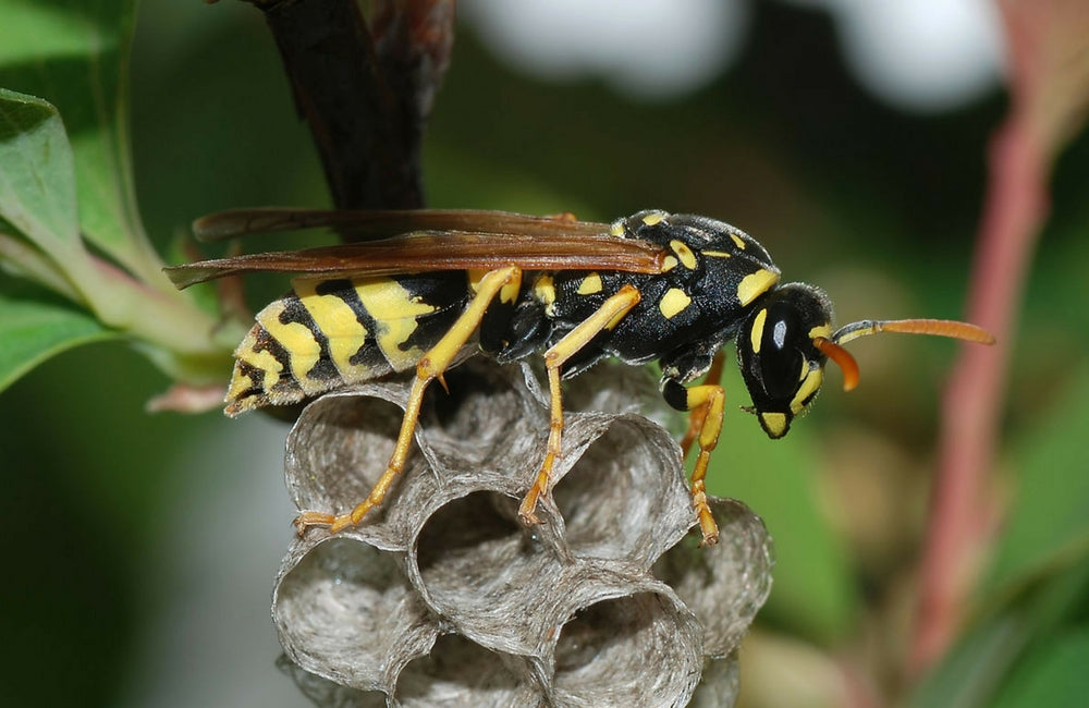 edible insects wasps