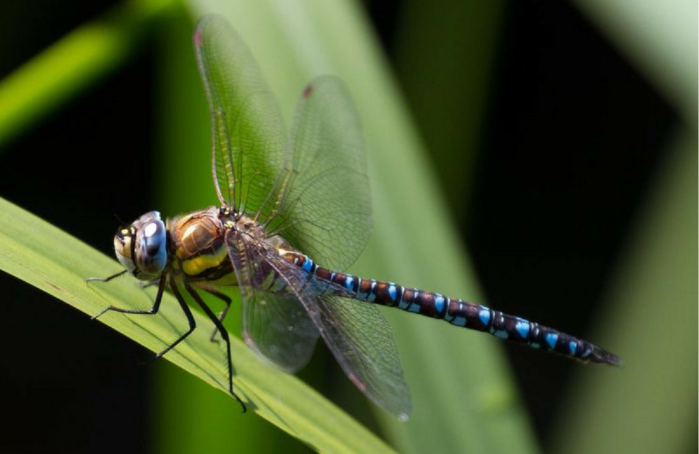 edible insects dragonfly