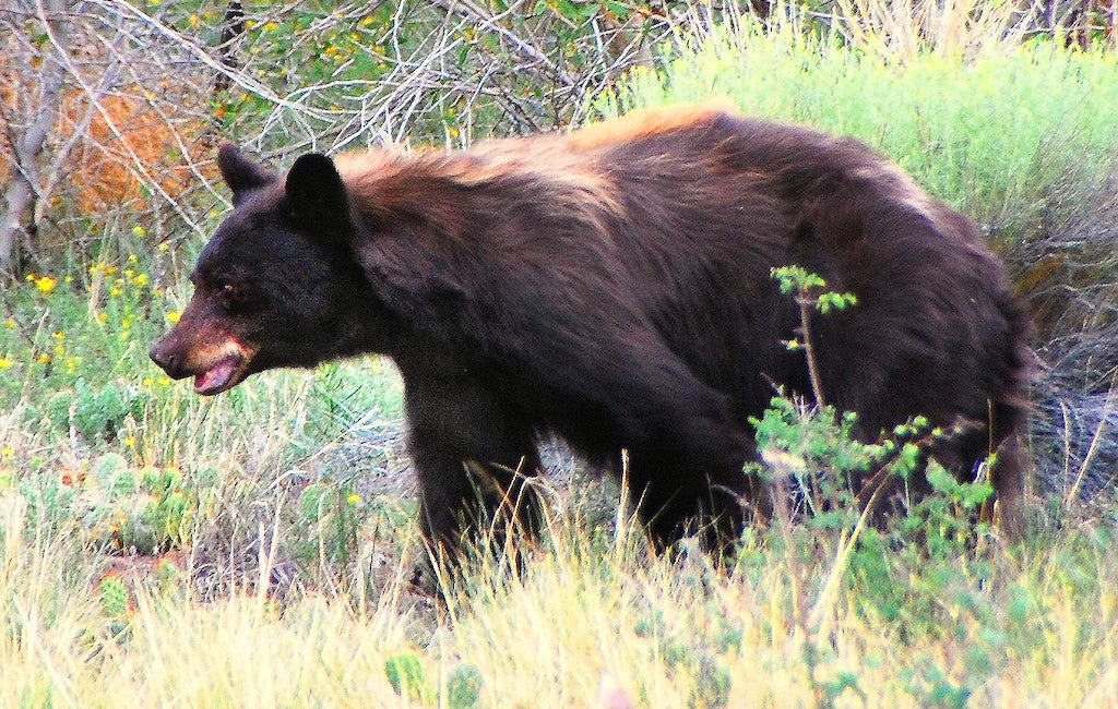 color of an american black bear