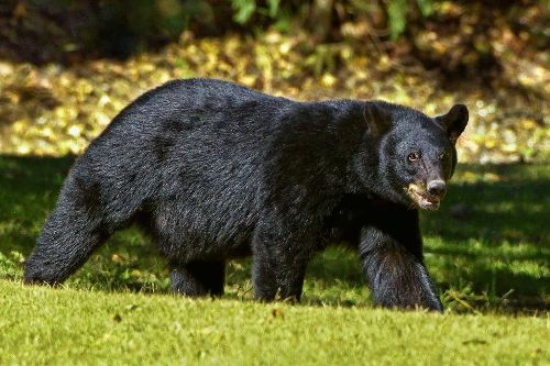 black bears dangerous