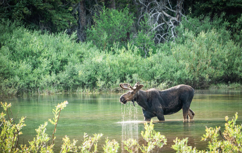 Moose on the continental divide trail