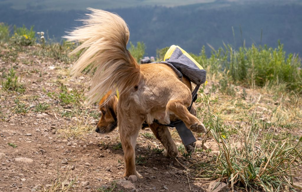 dog peeing while wearing a dog backpack