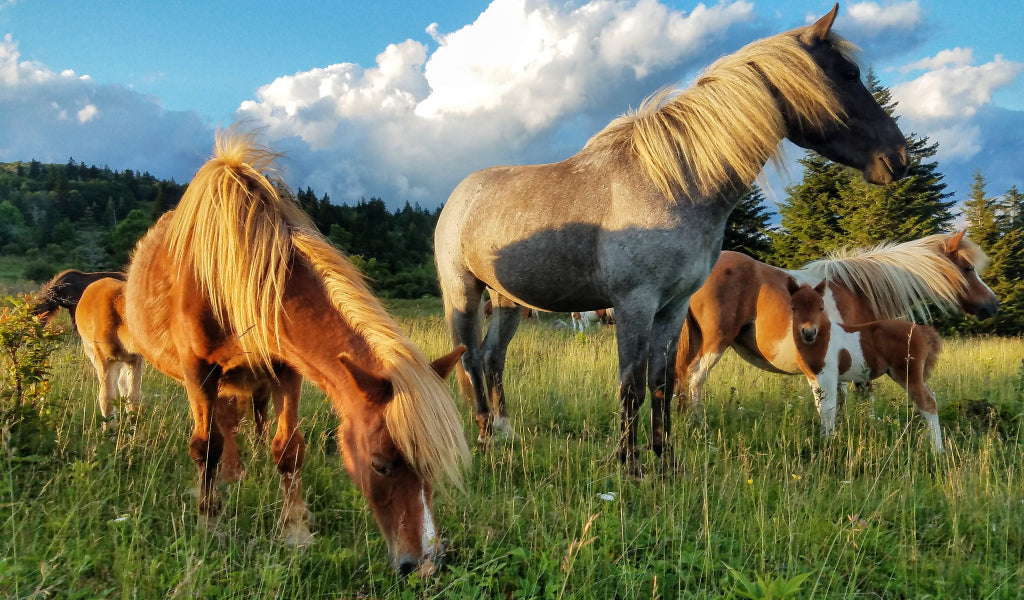 grayson highlands virginia ponies best appalachian trail section hikes