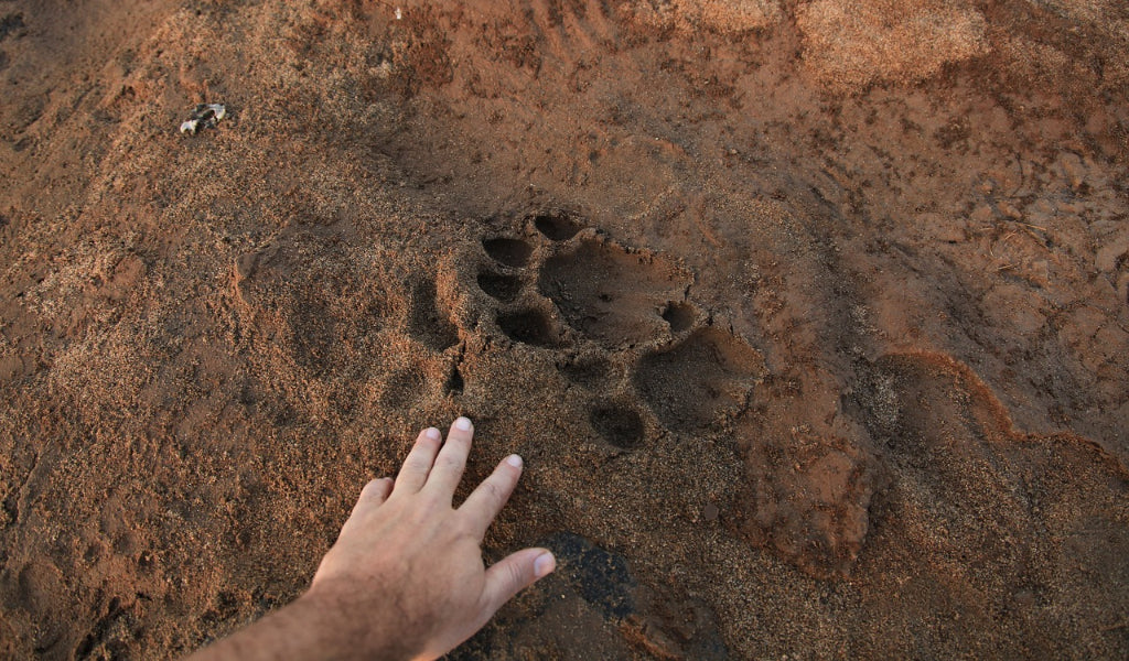 36 Most Common Animal Tracks | Identification Guide for USA
