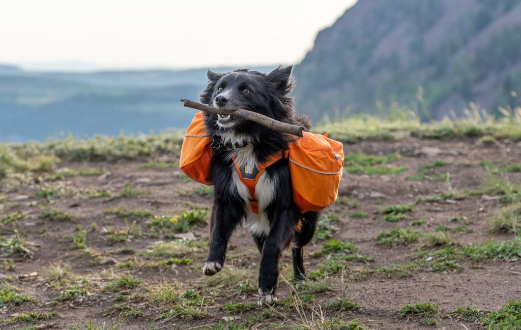 dog with backpack fetching stick