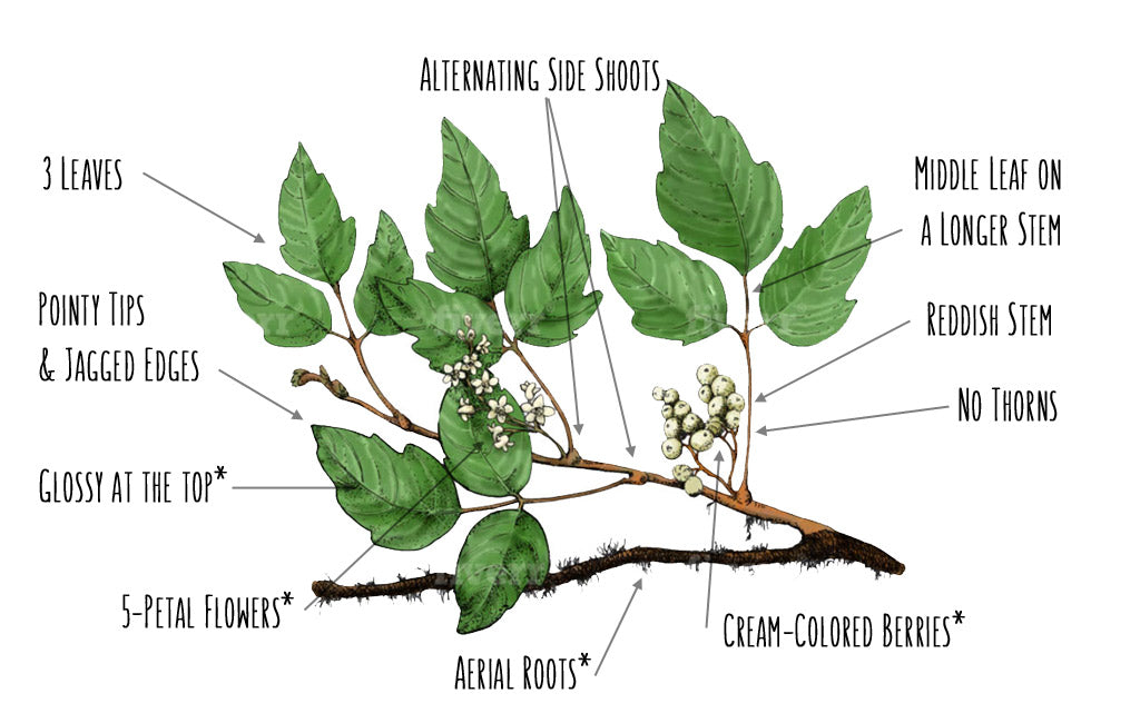 how to identify poison ivy diagram