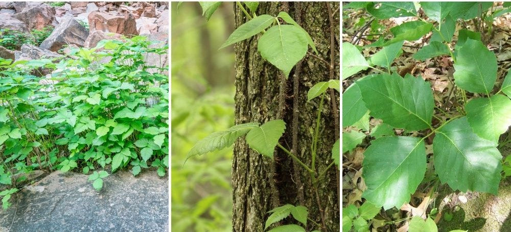 what does poison ivy look like: bushes and vines