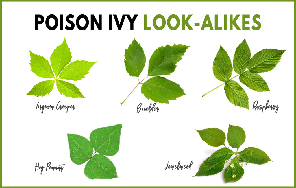 poison ivy identification look-alikes