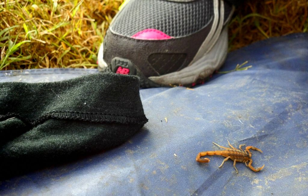 scorpion next to a hiking shoe