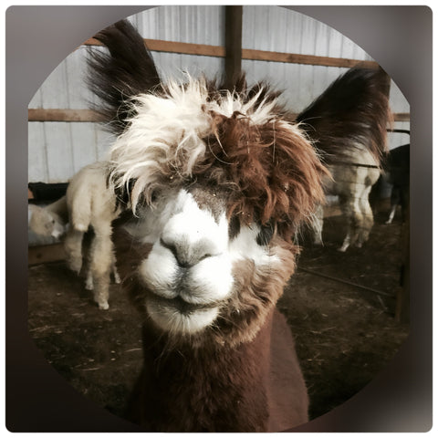 Virtual Adoption - Adopt-a-paca™ - BLAZE (Superfine  Fiber)  - BROWN