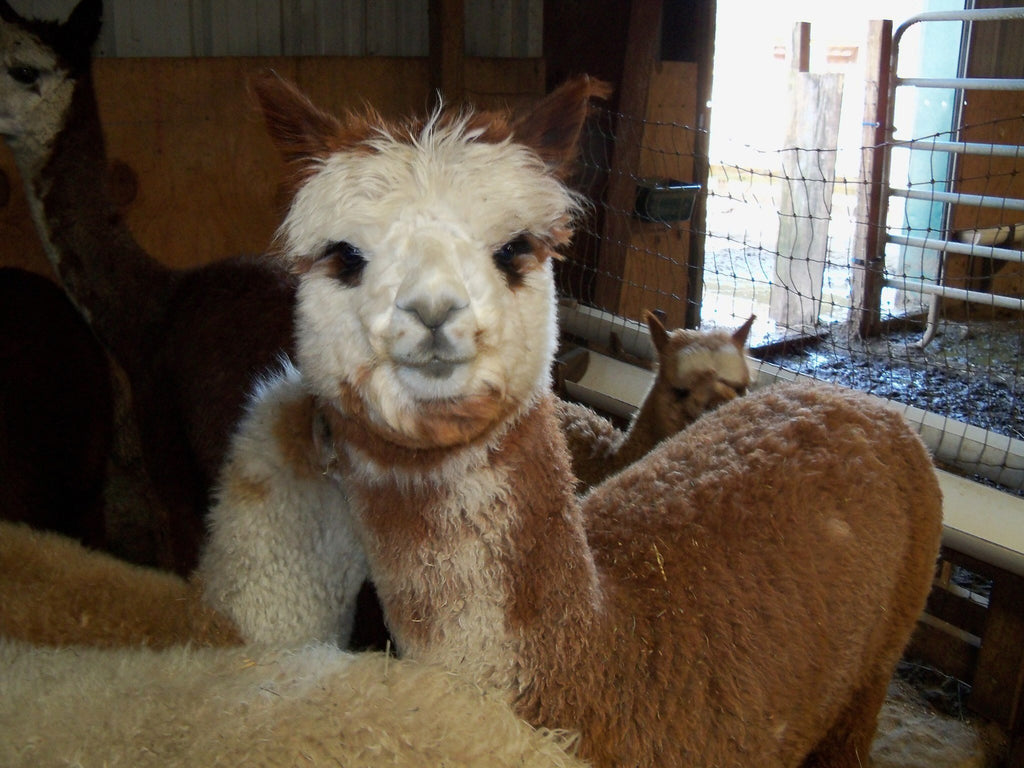 Virtual Adoption - Adopt-a-paca™ - ROSALITA (Baby  Fiber)  - ROSE GREY