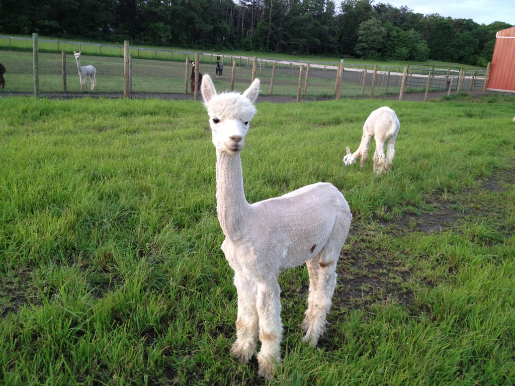 Virtual Adoption - Adopt-a-paca™ - ZEUS (Baby Fiber)  - BEIGE