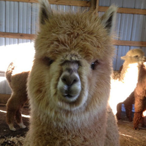 Virtual Adoption - Adopt-a-paca™ - ROMEO (Baby Fiber)  - FAWN