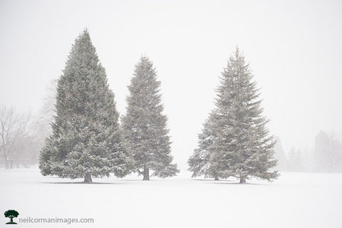 Trees at Cheesman Park