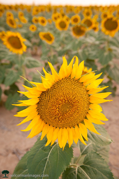 Sunflowers on the Colorado Plains