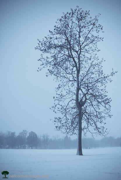 Lone Tree in Washington Park