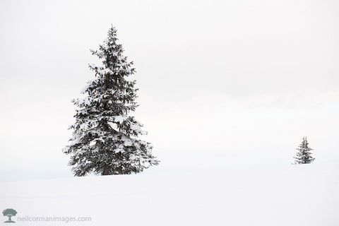 Tree in Colorado Snow