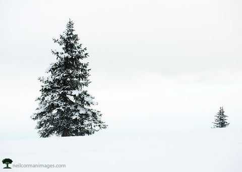 Tree in Colorado Snow<br />Holiday Cards