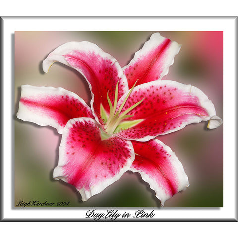 Daylily In Pink Print