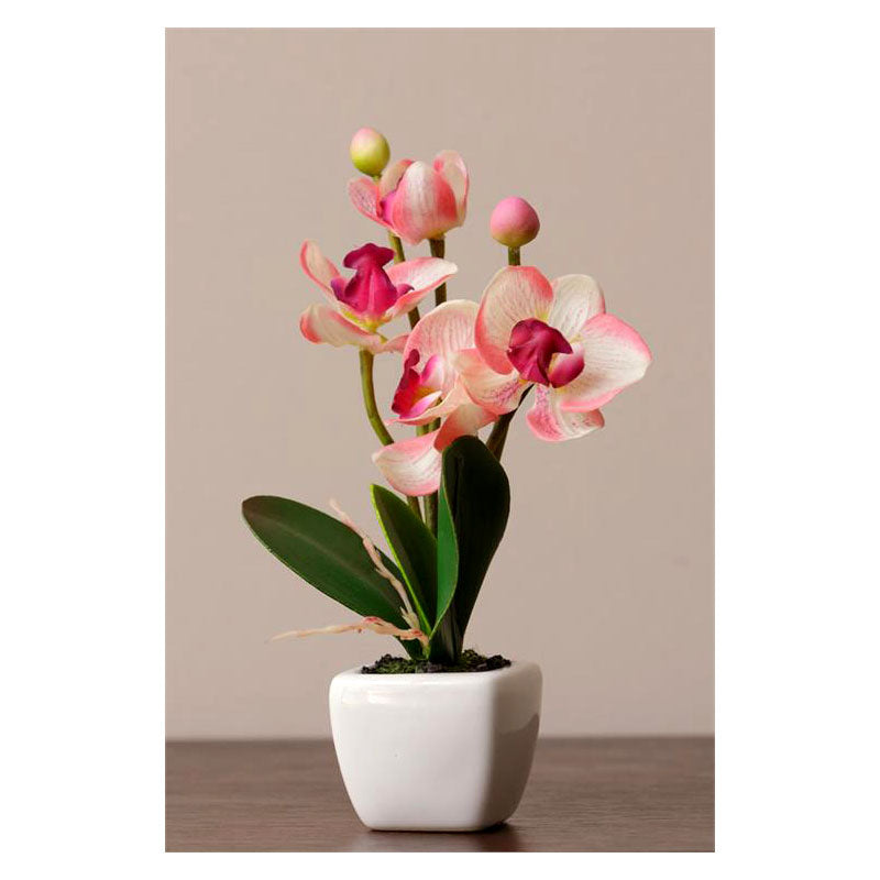 Phalaenopsis Cream Pink In White Decorator Potted Orchid Plant 8F5577