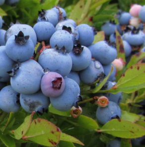 Blueberry	a. Brunswick lowbush
