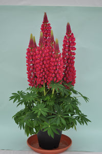 Lupinus Staircase Red - Lupine