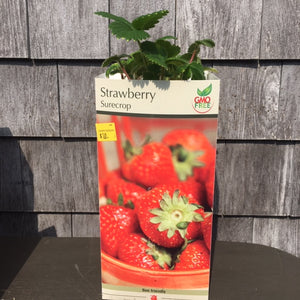 Strawberry Plants - PICK UP MAR 20>