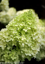 Load image into Gallery viewer, Hydrangea pan. Limelight Prime