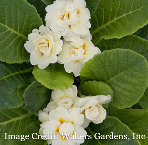 Primula Belarina Primroses available late March-early April
