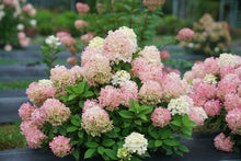 Load image into Gallery viewer, Hydrangea pan. Firelight Tidbit®