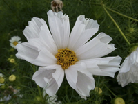 Blush White Pied Piper (Cosmos)