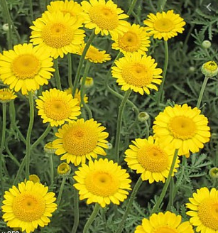 Golden Marguerite (Dyer's Camomile)