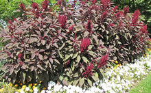 Load image into Gallery viewer, Hopi Red Dye (Amaranth)