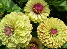 Load image into Gallery viewer, Queen Lime Blush (Zinnia)