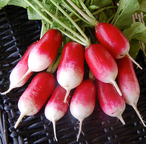 French Breakfast (Radish)