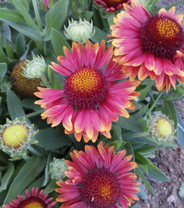 Arizona Red Shades (Gaillardia)