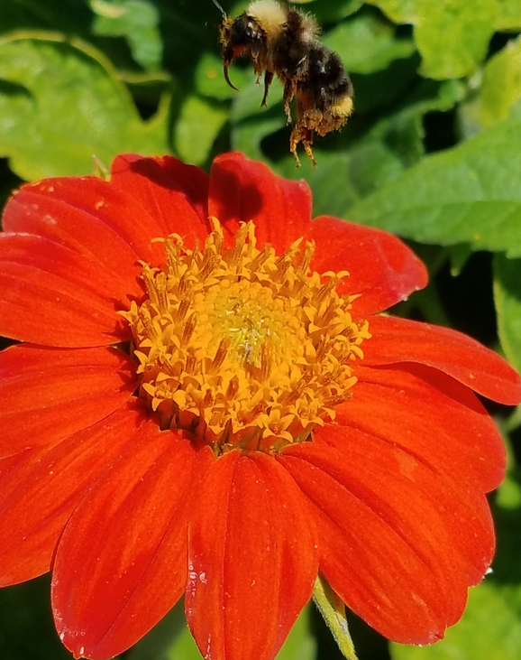 Torch (Tithonia/Mexican Sunflower)