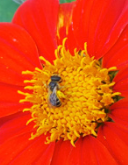 Load image into Gallery viewer, Torch (Tithonia/Mexican Sunflower)