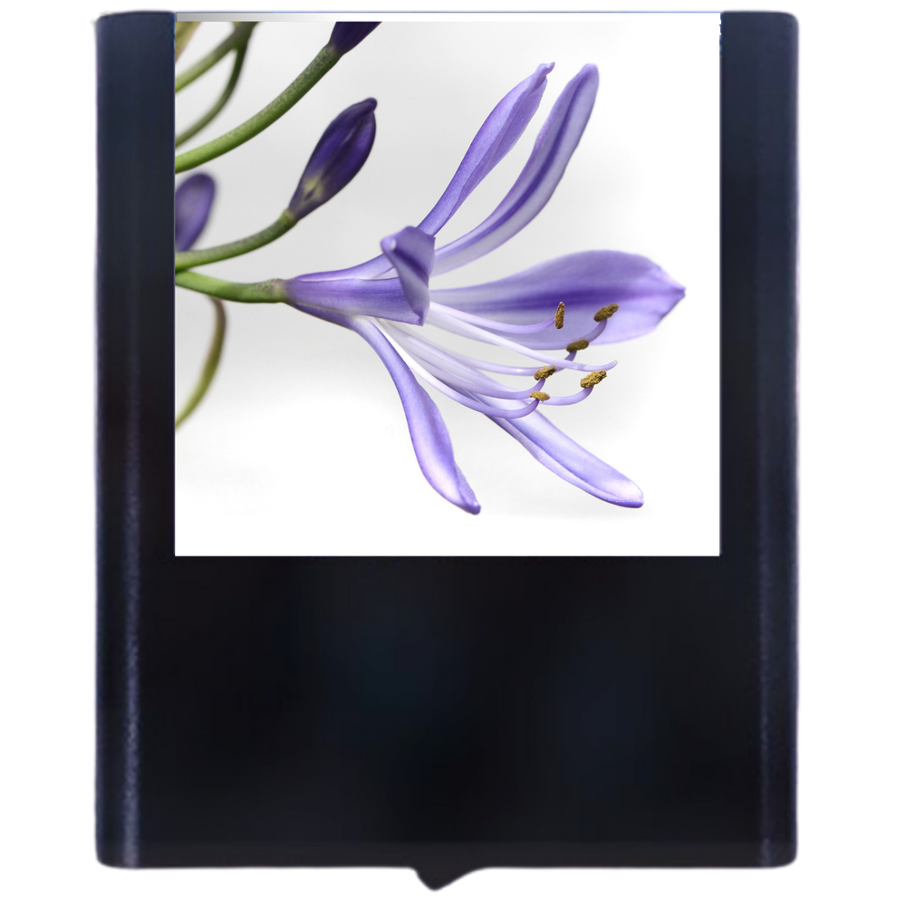 Load image into Gallery viewer, Agapanthus Flower