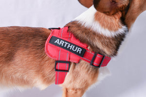"Image description: dog wearing red harness with personalized name tag, spelling ""Arthur."""