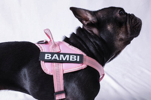 Image description: black French bulldog wearing pink harness with name attached, spelling