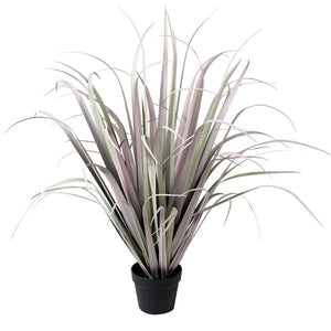 Grey Lilac Onion Grass in Pot